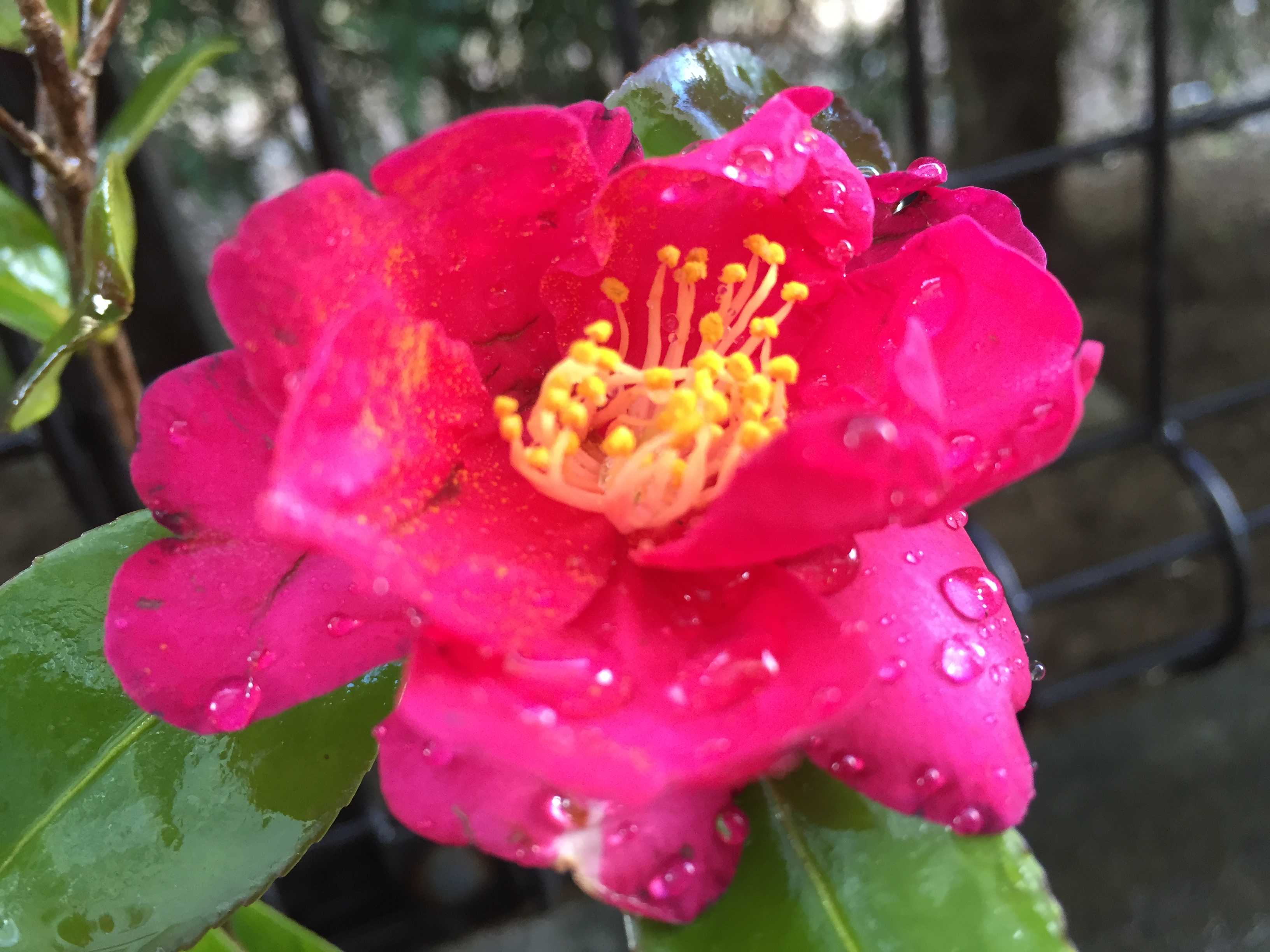 さざんか(勘次郎)のショッキングピンクの花びら