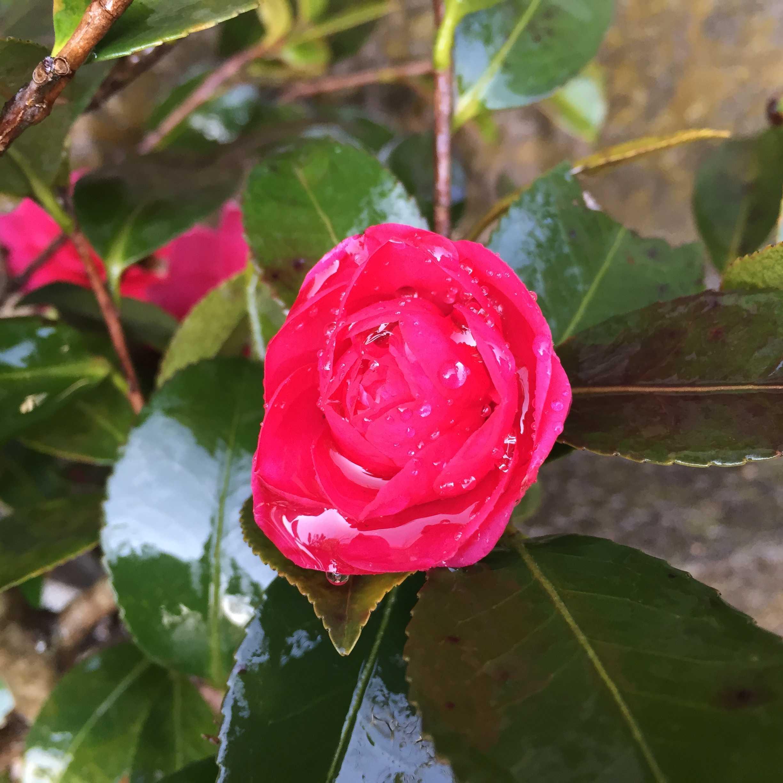 サザンカ(這い寒椿/ハイカンツバキ)の獅子頭の開花