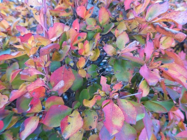 赤く色づく葉っぱ