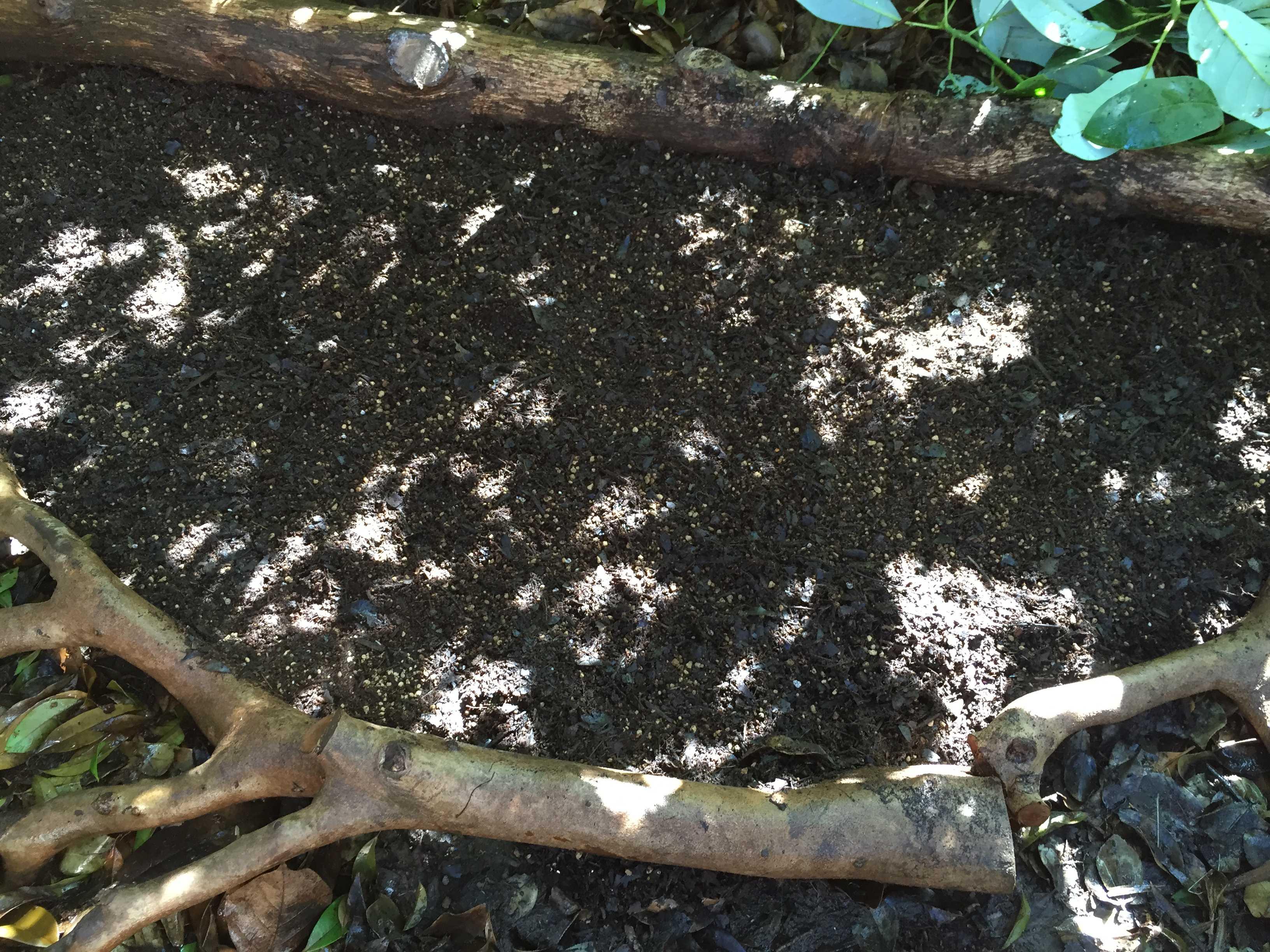 ヤマユリ庭植え - 植え穴