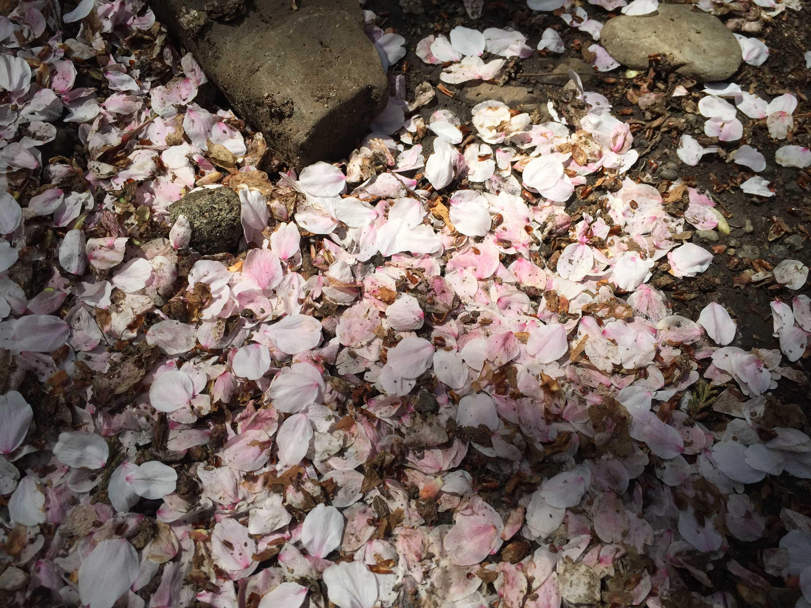 八王子・子安神社境内の散った桜の花びら