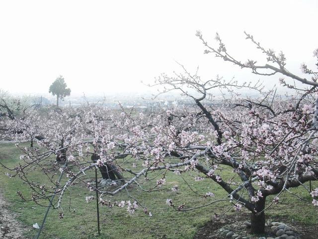 山梨の桃園