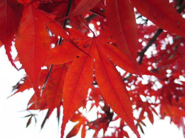 紅葉の赤い葉っぱ