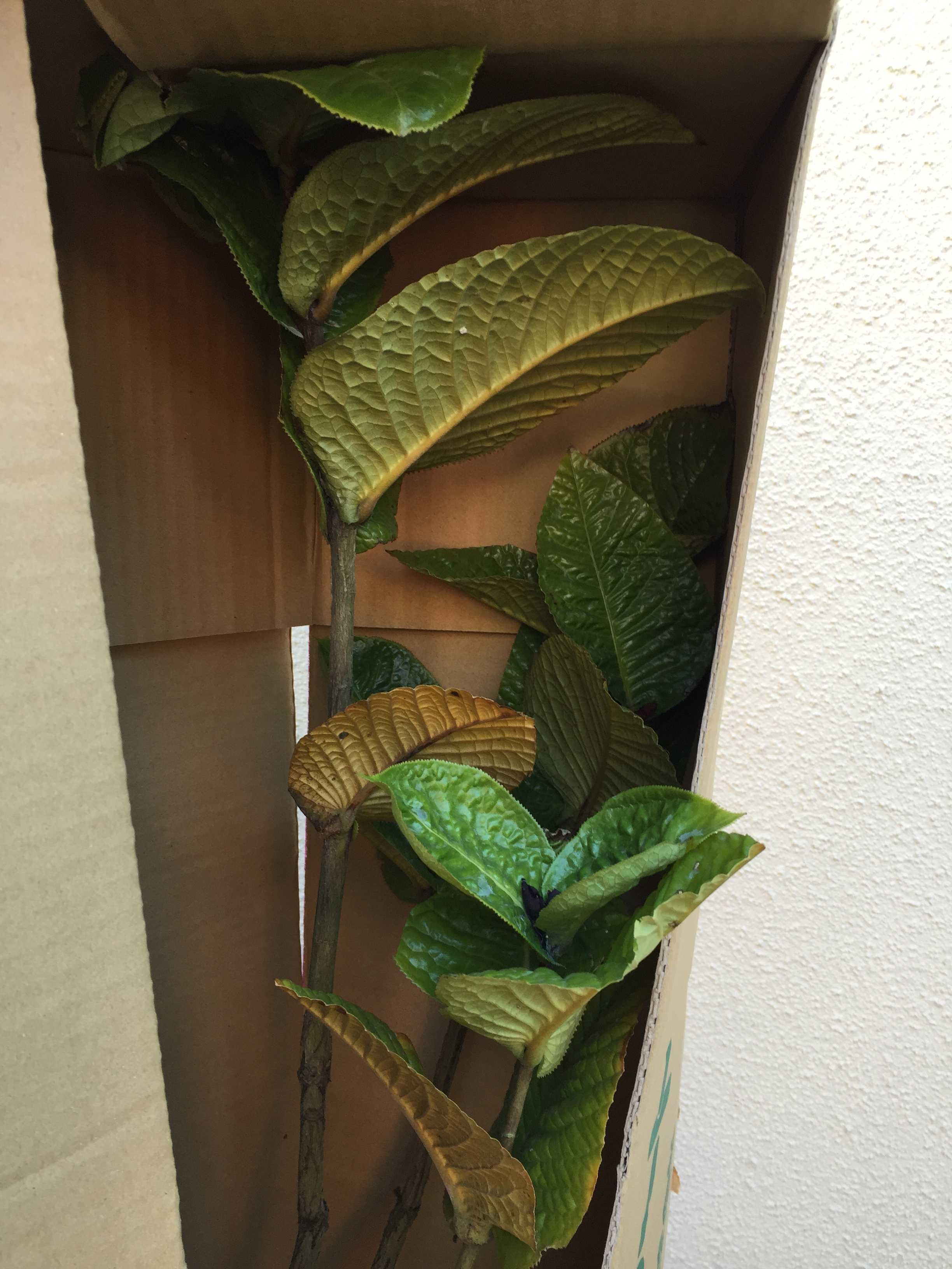 ベトナムの原種椿「murauchii」