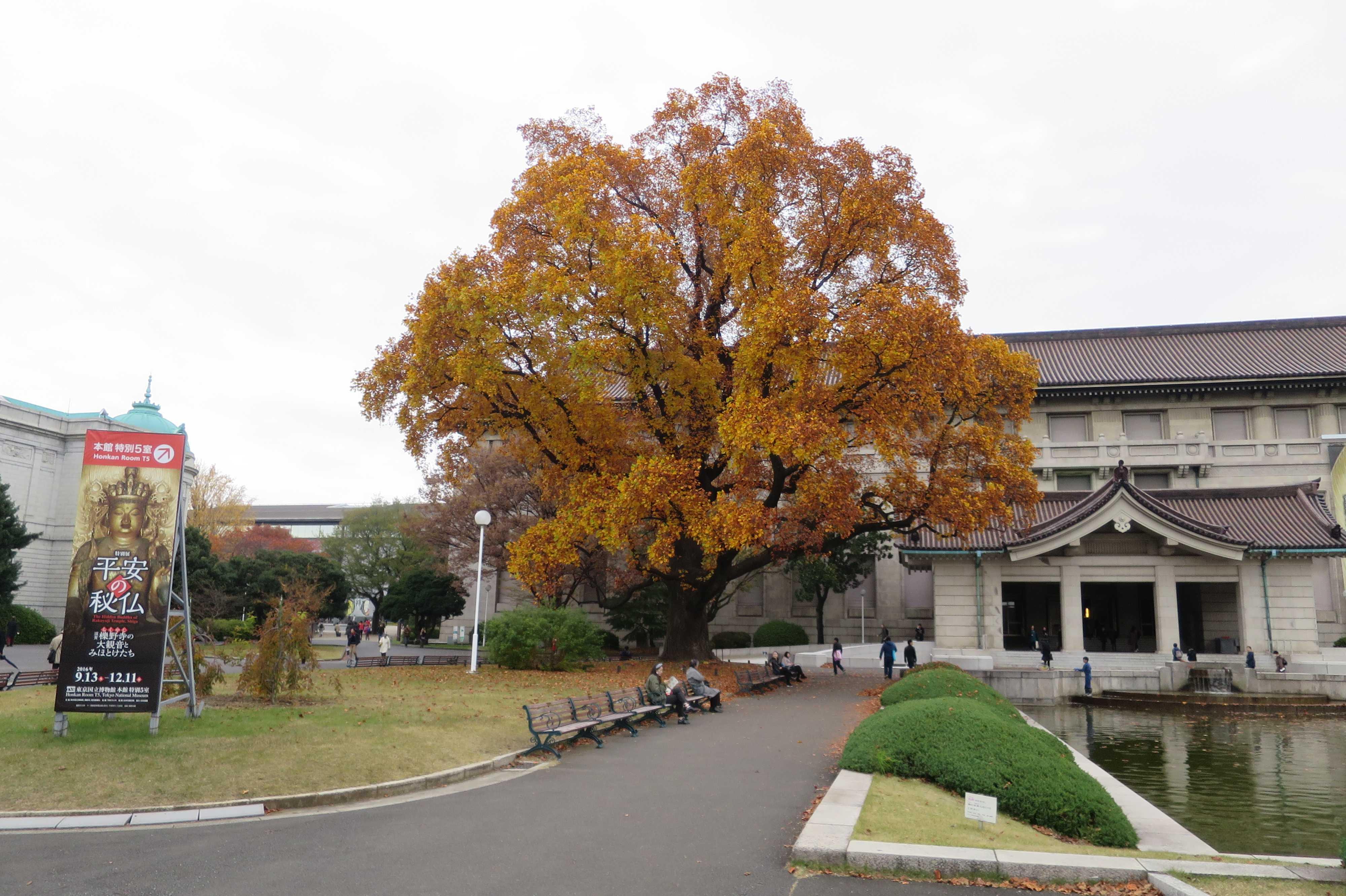 東京国立博物館 本館前のユリノキ