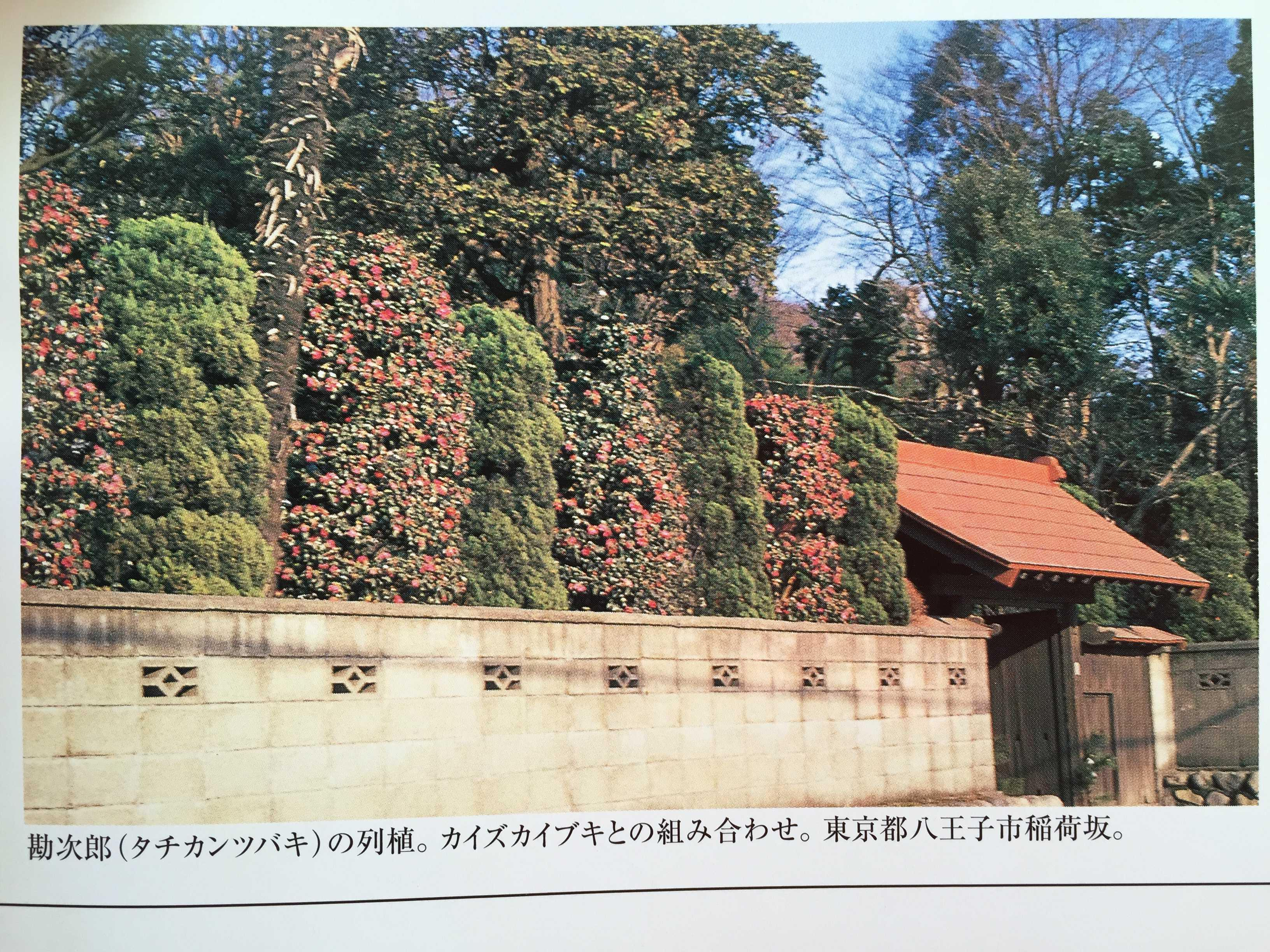 東京都八王子市稲荷坂 - 勘次郎(タチカンツバキ)の列植。カイズカイブキとの組み合わせ。