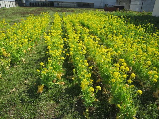 菜の花畑(ムラウチドットコム本社裏)