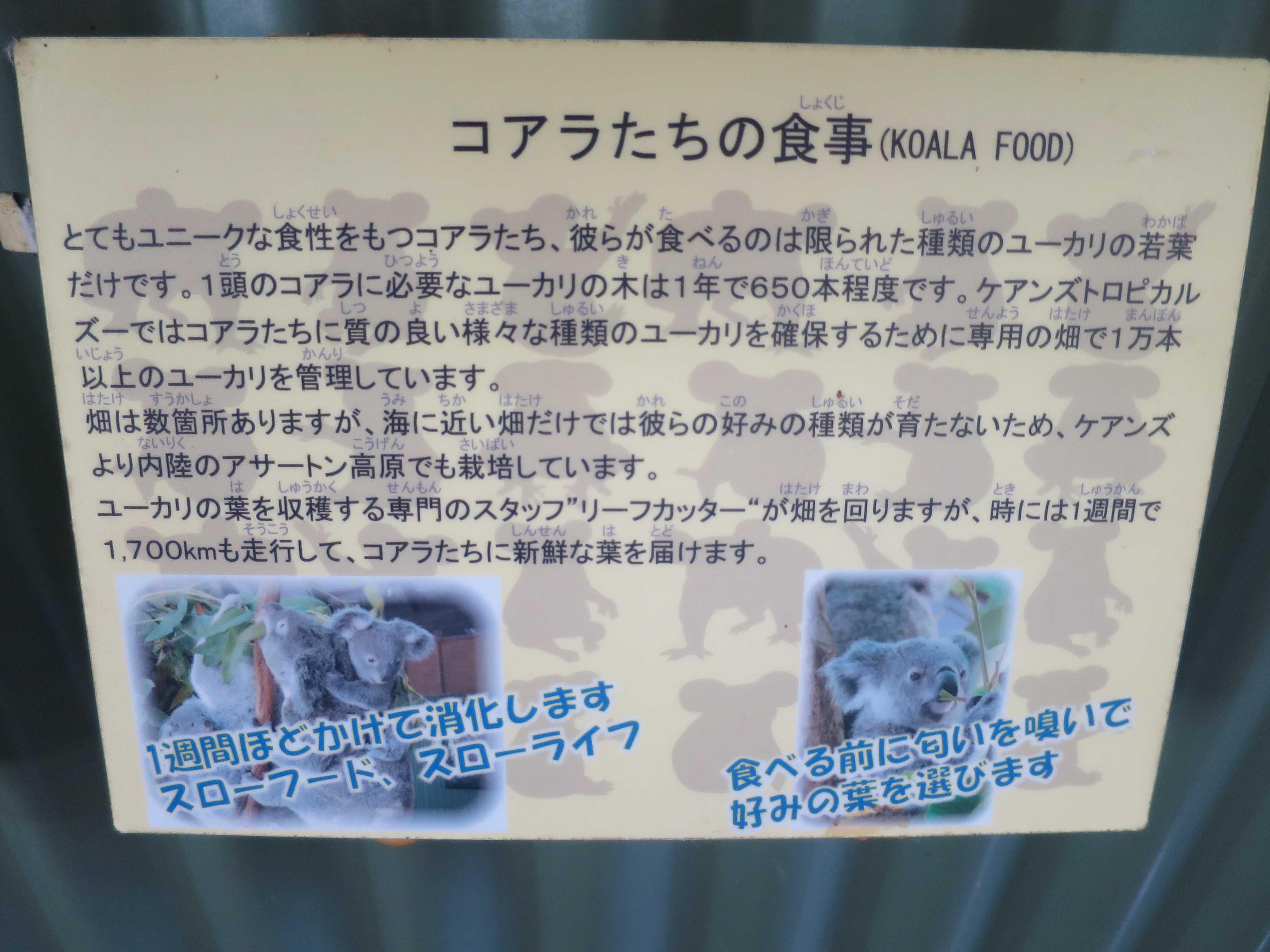 ケアンズ動物園 - コアラたちの食事(KOALA FOOD)