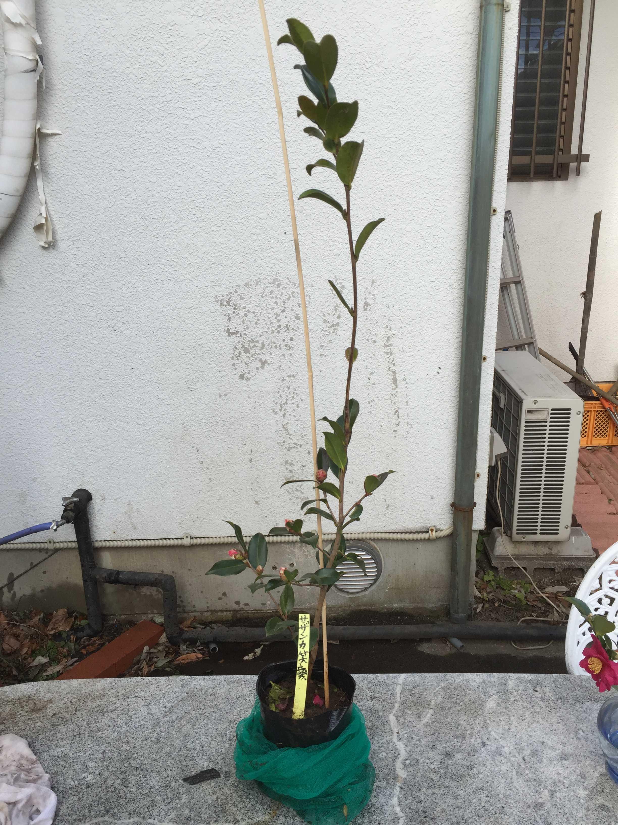 ハルサザンカ「笑顔」の苗木