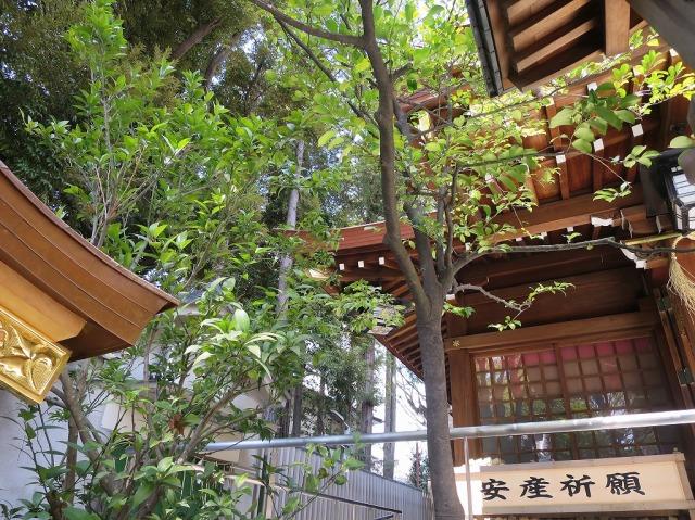 八王子・子安神社の右近橘(大和橘)