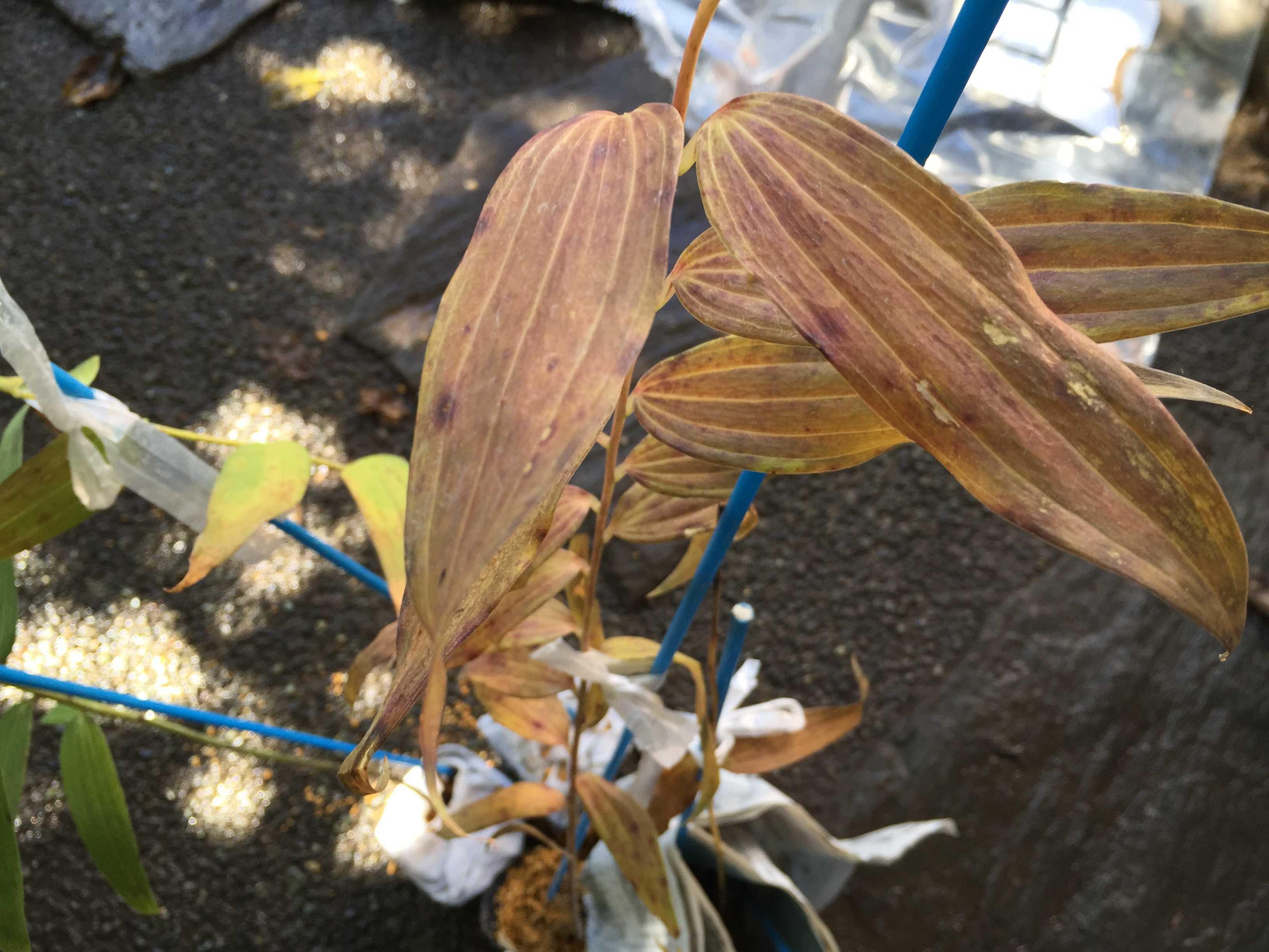 ヤマユリ庭植え - 茶色いヤマユリの葉っぱ