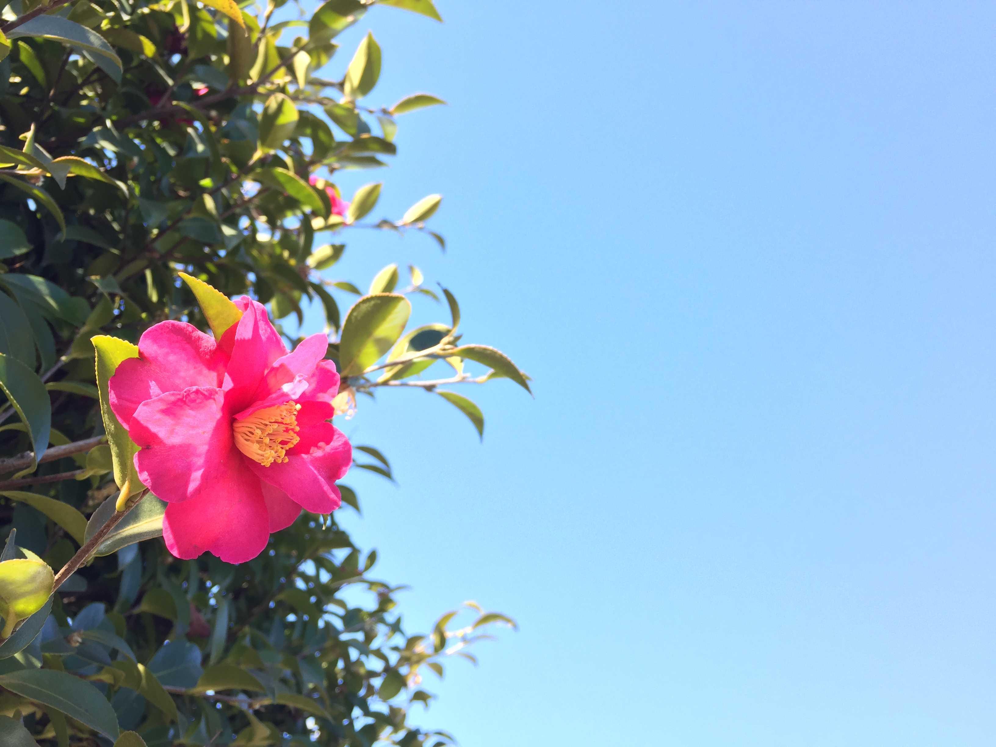 冬の花・サザンカ
