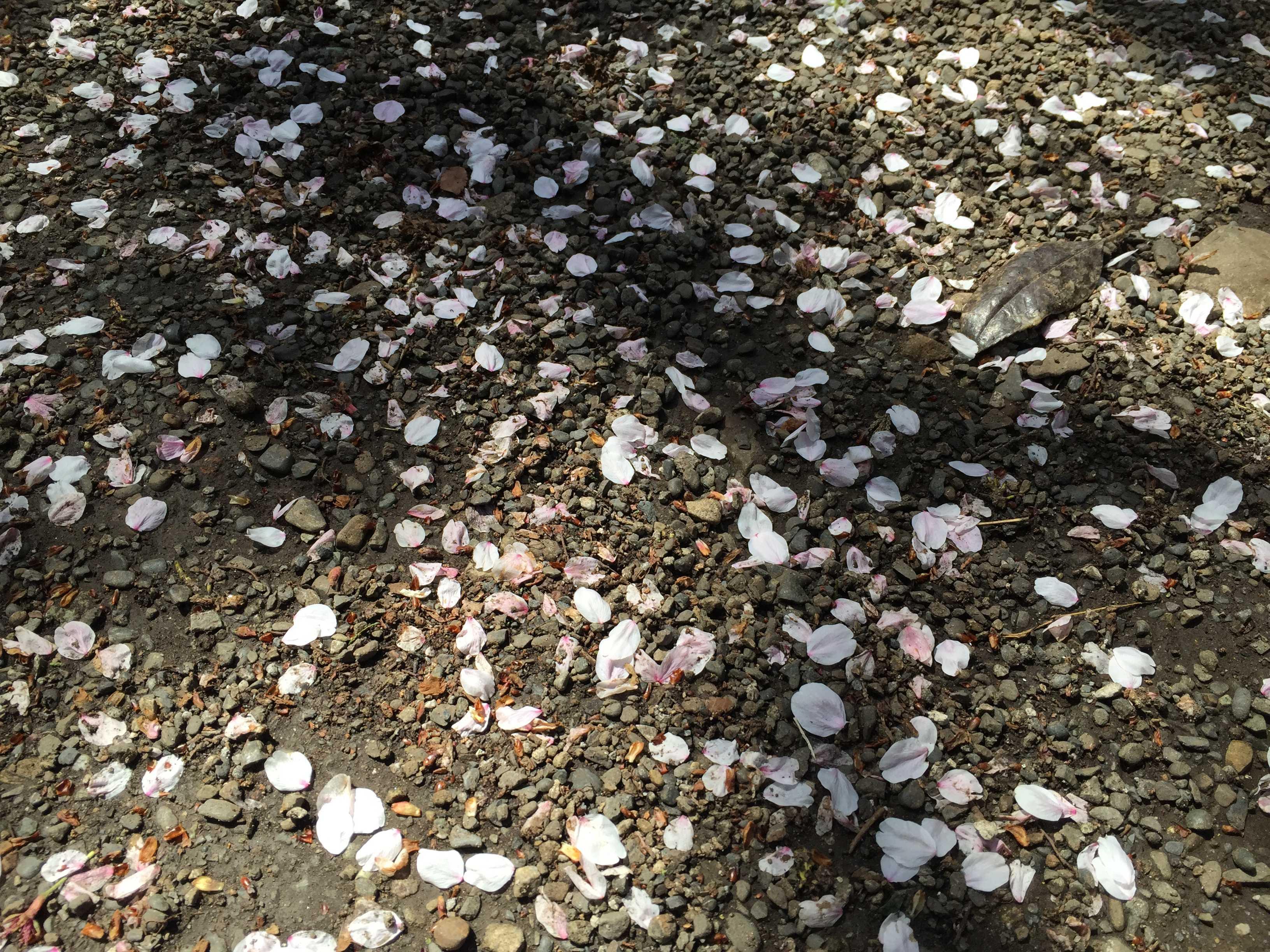 子安神社(東京・八王子)の桜の花びら