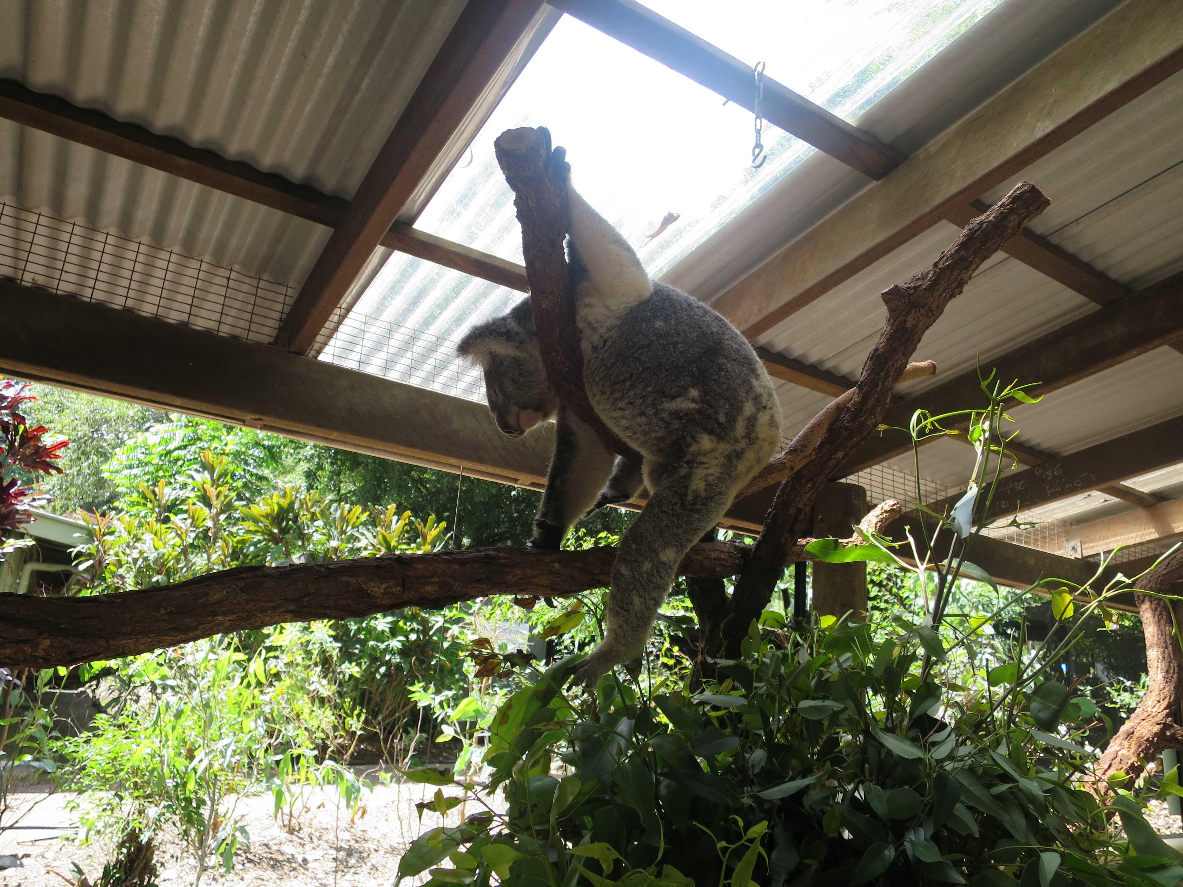 ケアンズトロピカルズー - かわいいコアラ