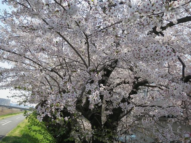 浅川土手の満開の桜