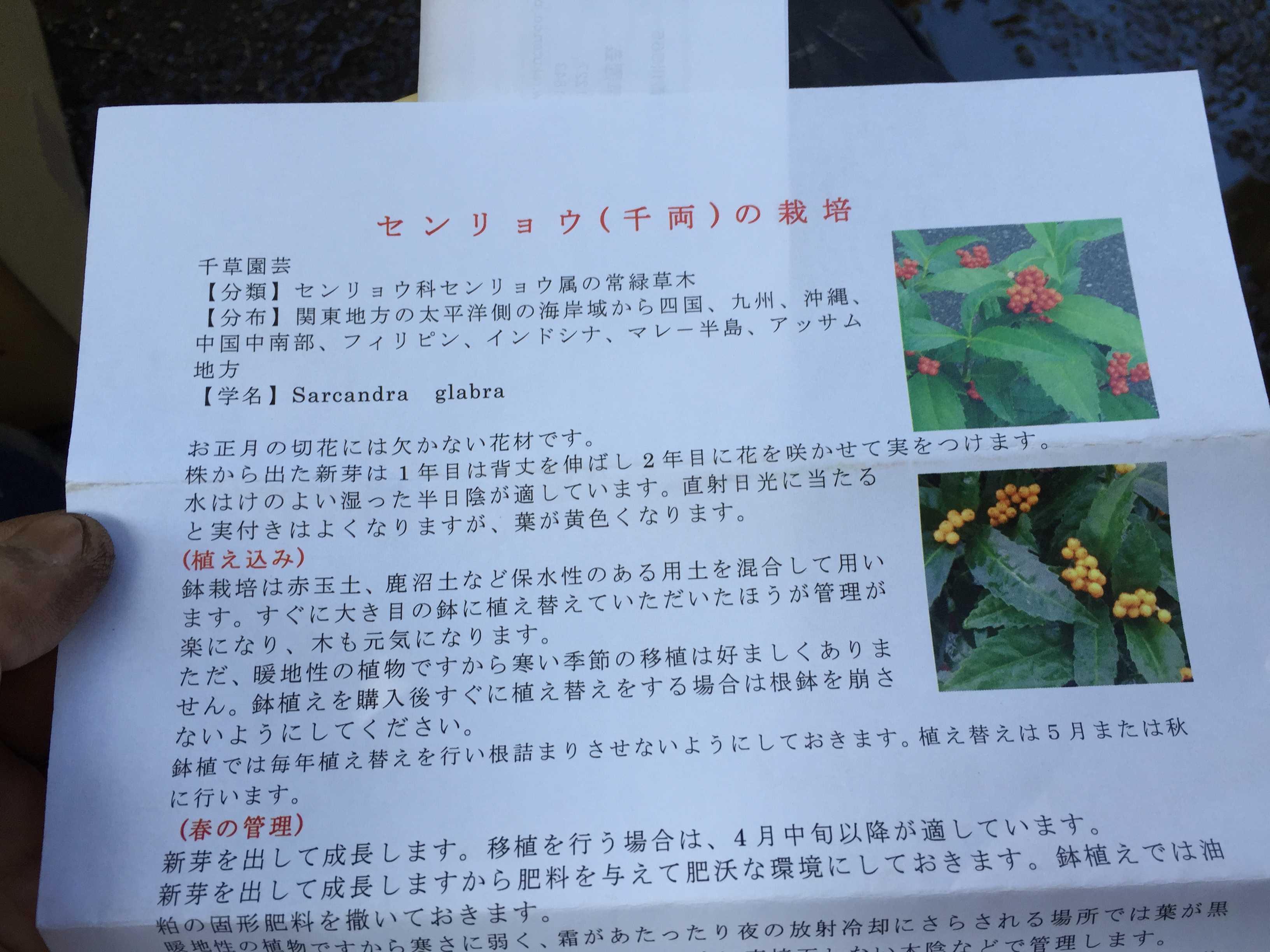 千両(センリョウ) の栽培方法
