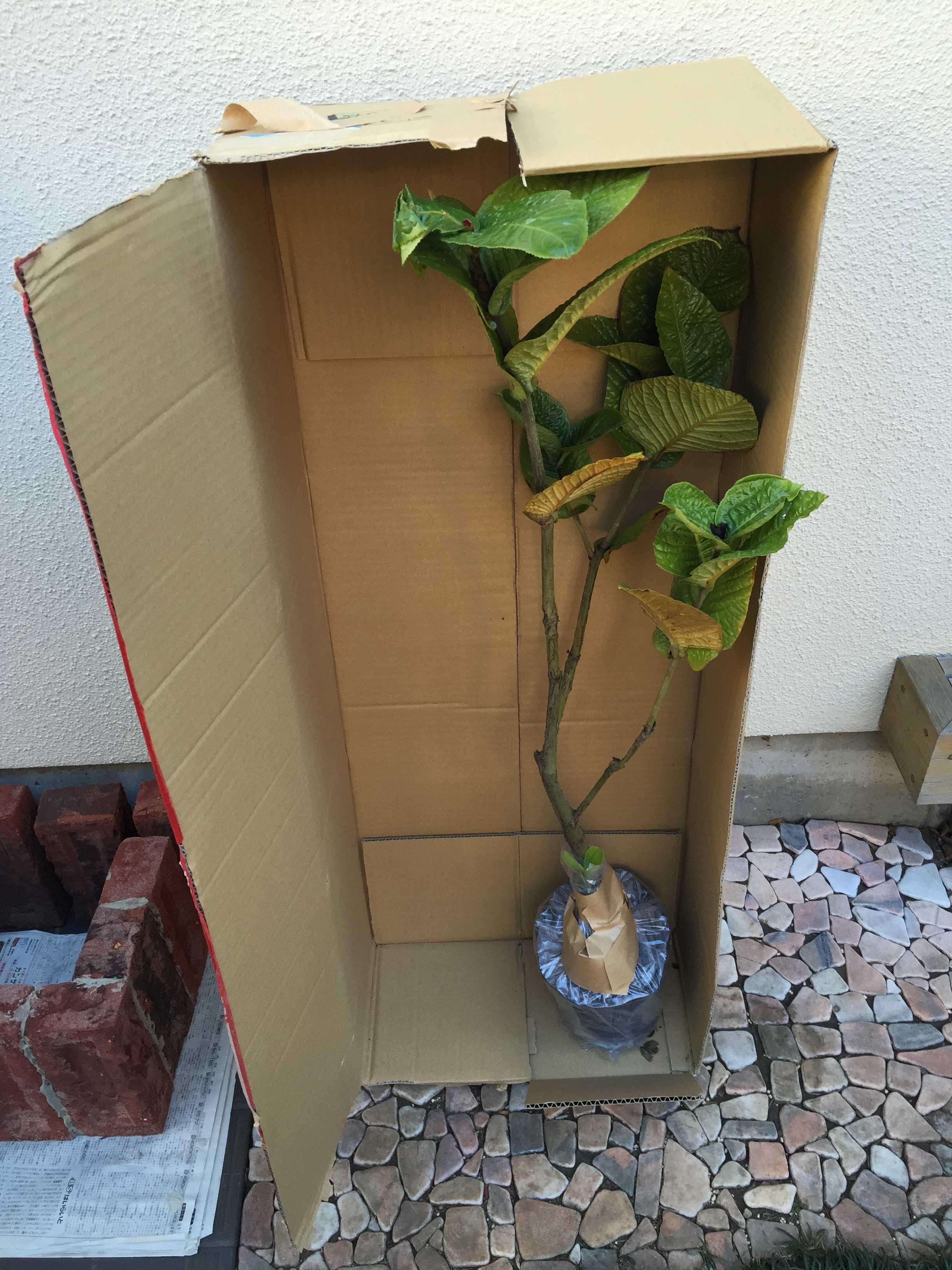 ベトナム原産の黄花椿「ムラウチイ(murauchii)」