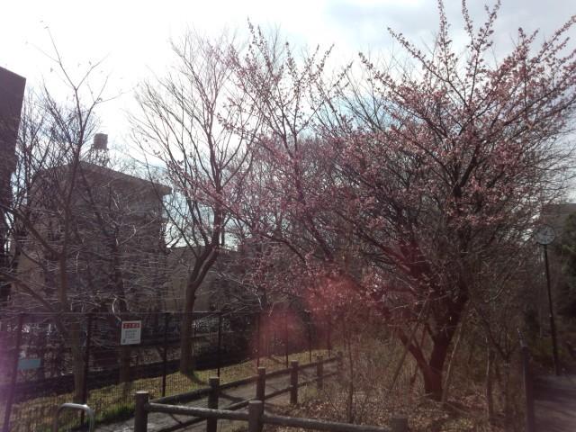 春の玉川上水