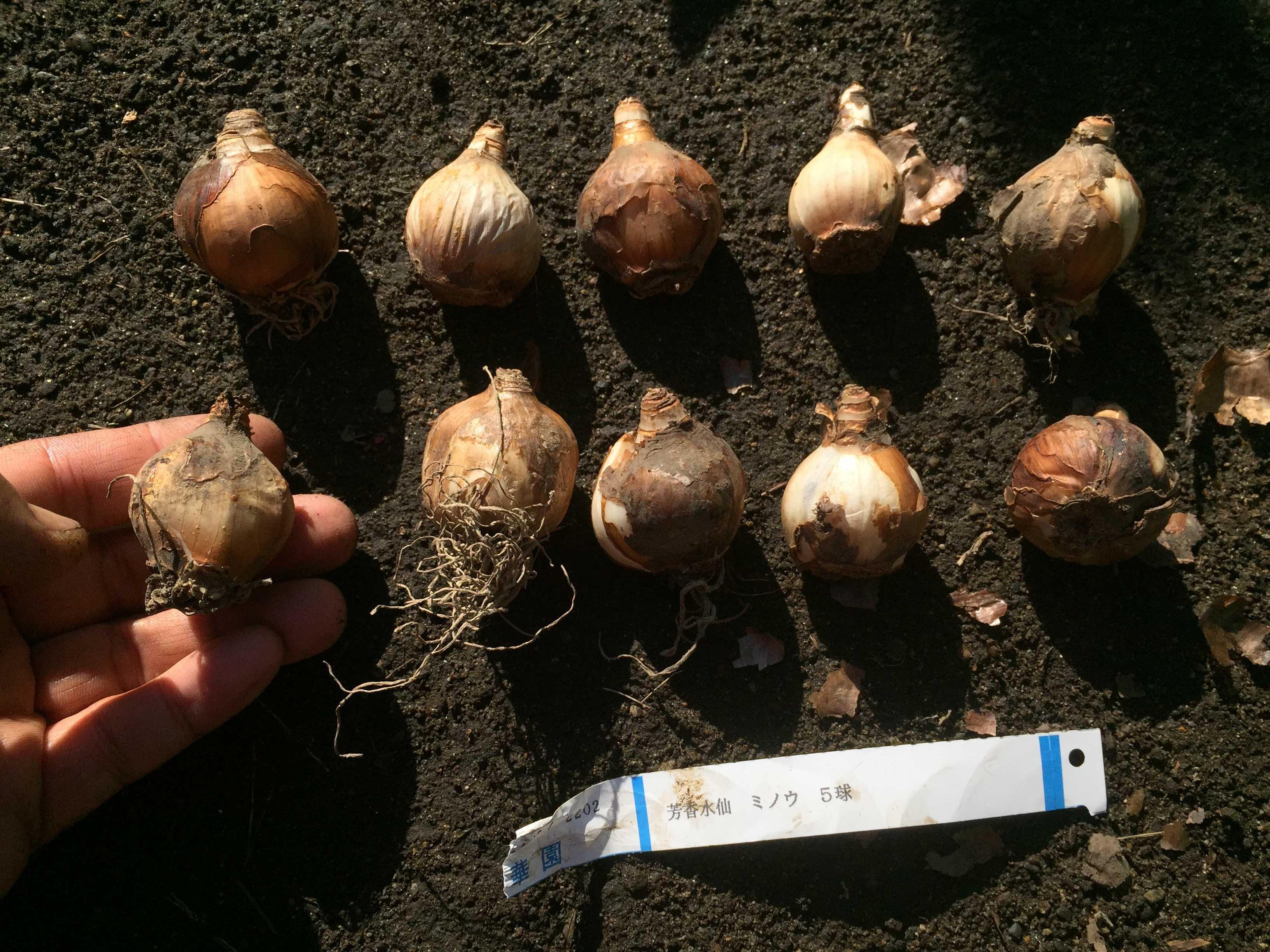 ミノウの球根 - 水仙の球根の植え方