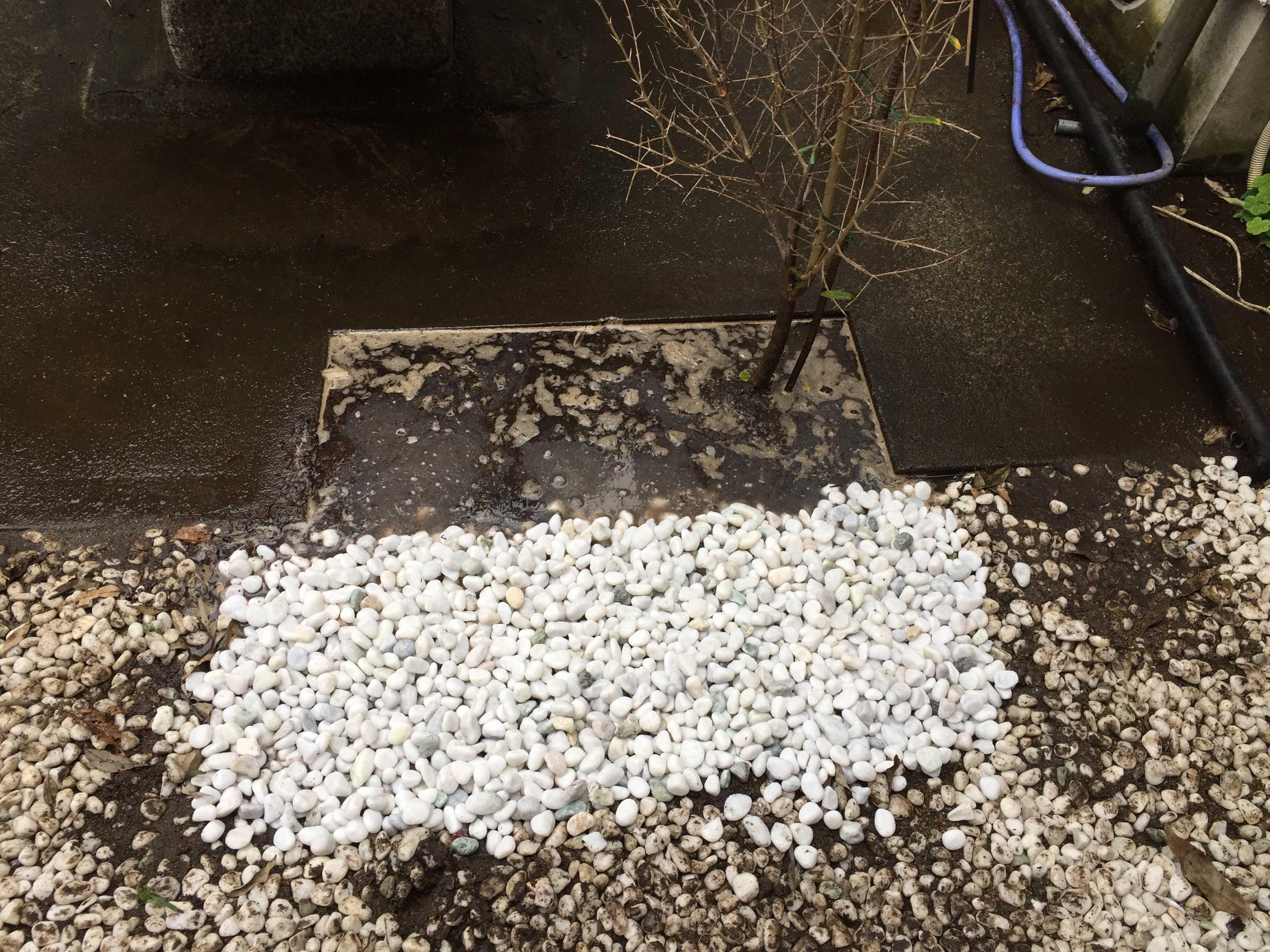 ザクロの植え付け: 真っ白な玉砂利