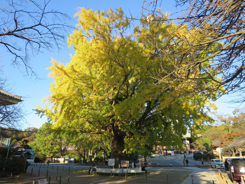 真っ黄色な遊行寺の大銀杏(いちょう)