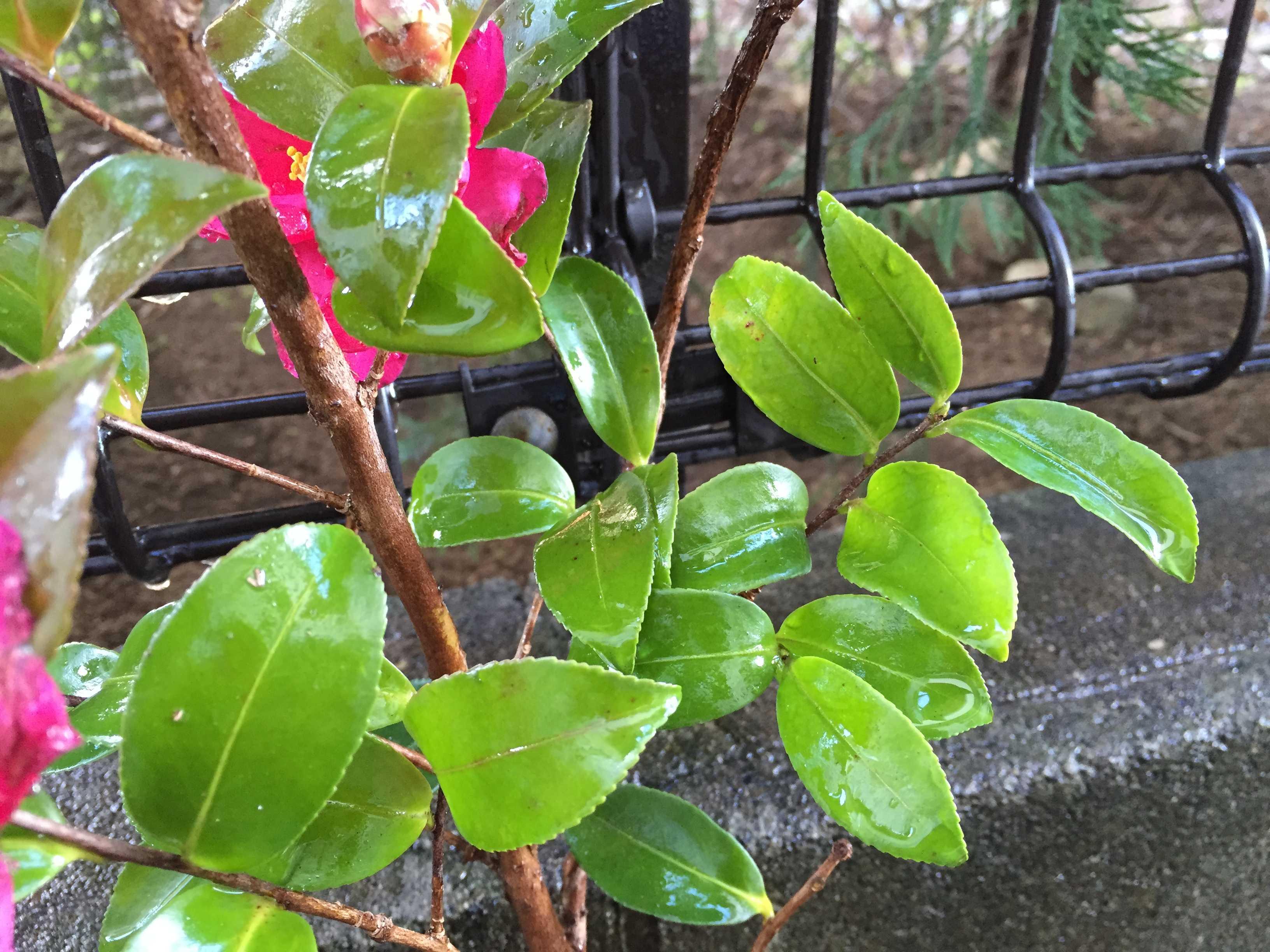 タチカンカンツバキ(立寒椿)の葉っぱ