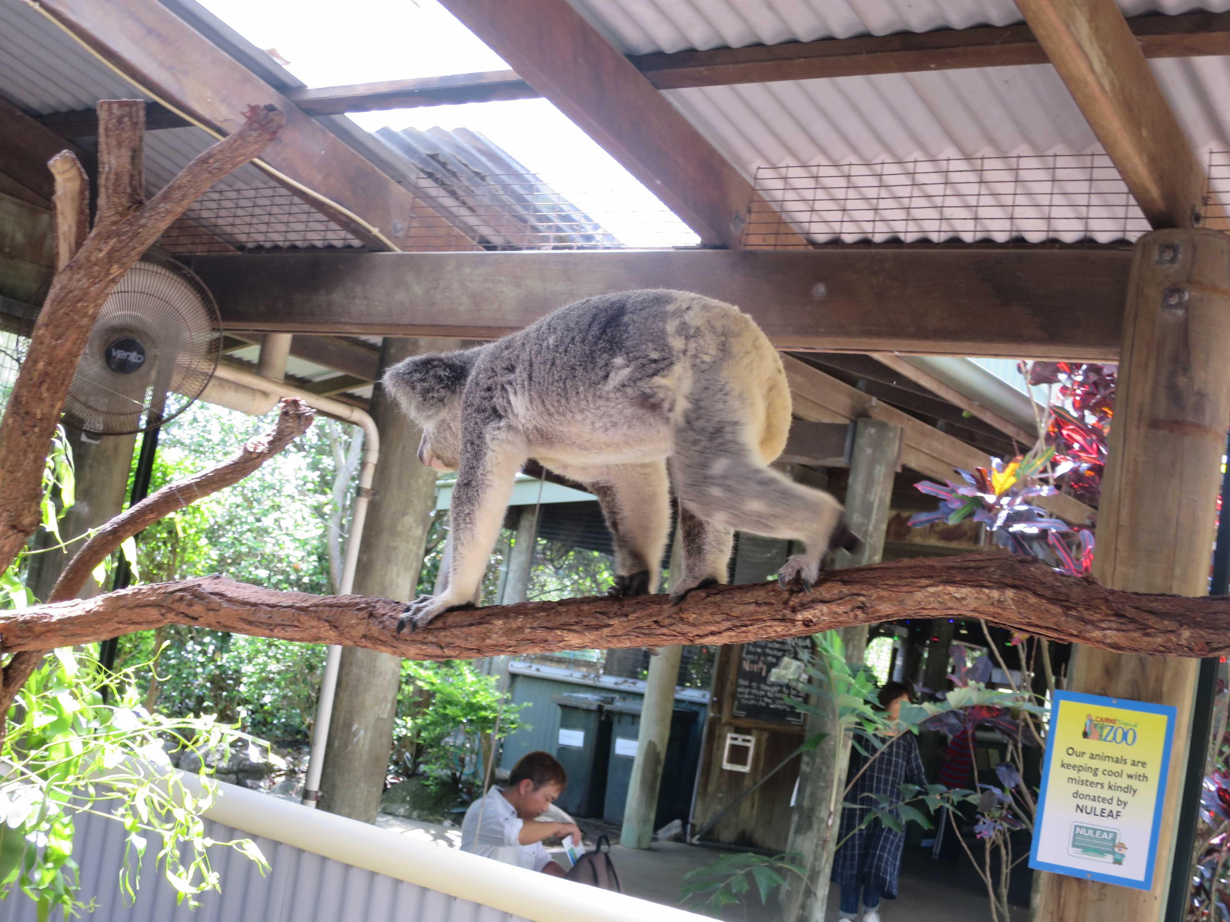 ケアンズトロピカルズー - 枝の上を歩くコアラ