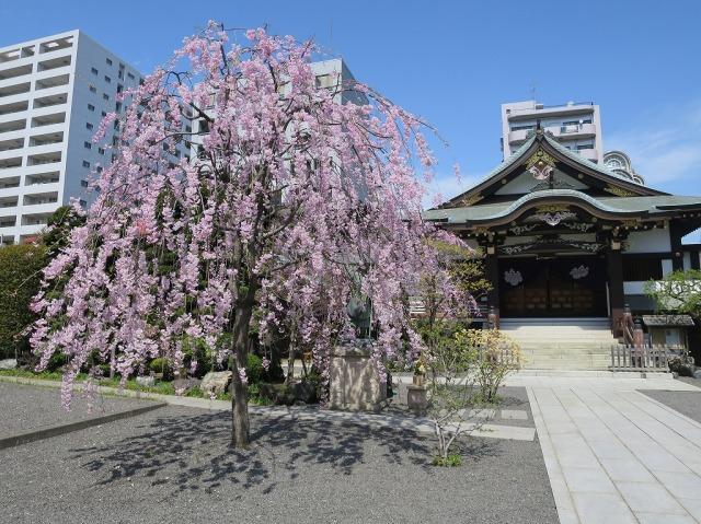 福傳寺 (福伝寺)の枝垂れ桜