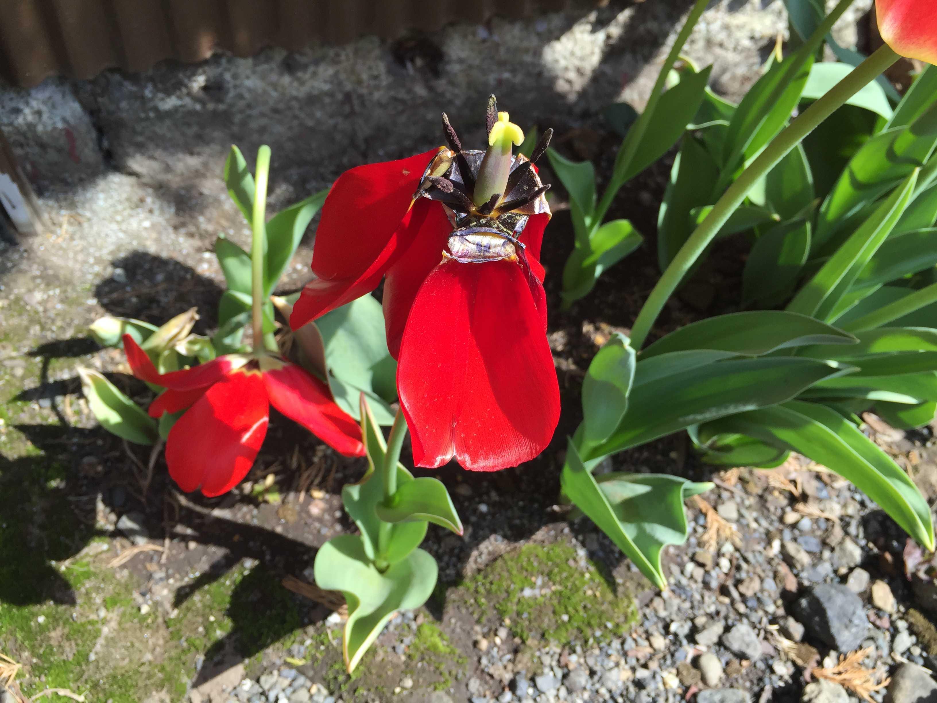 咲き終えたチューリップ