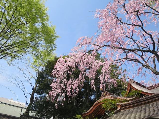 子安神社の桜