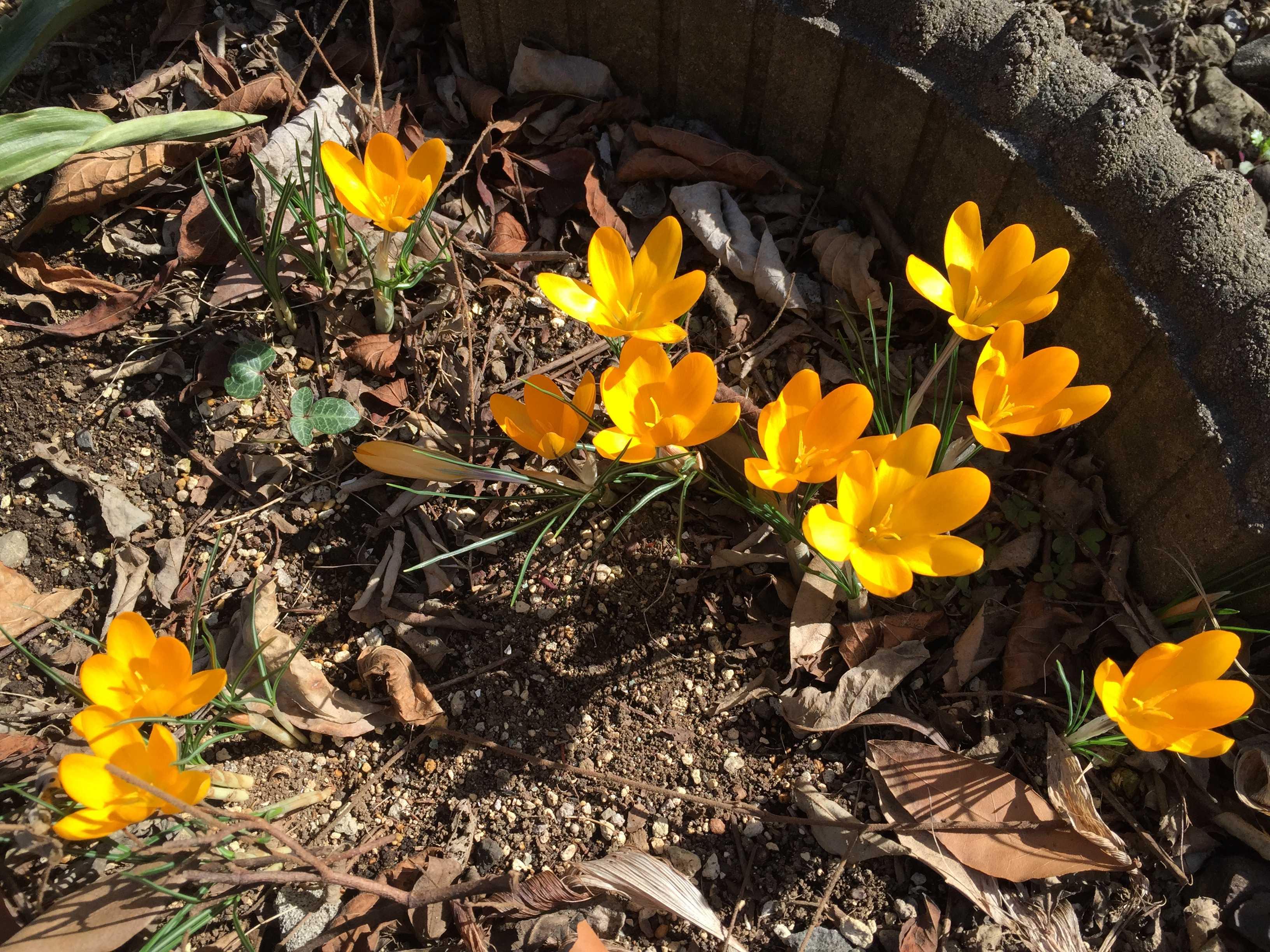 春告花 - 黄色いクロッカス