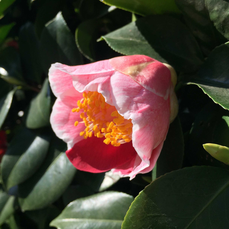 椿「覆輪蜀光(フクリンショッコウ)」の開花