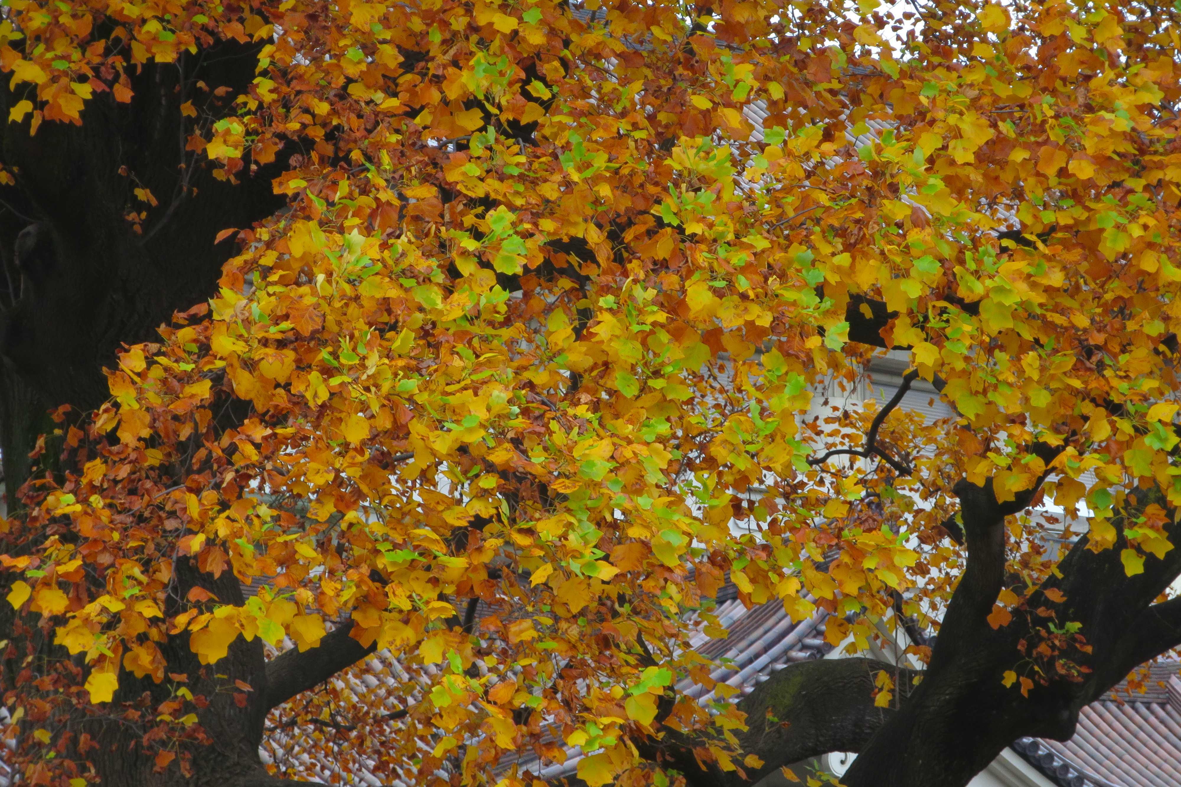 紅葉(黄葉)したユリノキの黄金色の葉っぱ