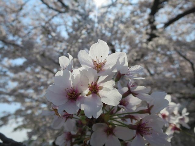 浅川土手のサクラの花びら