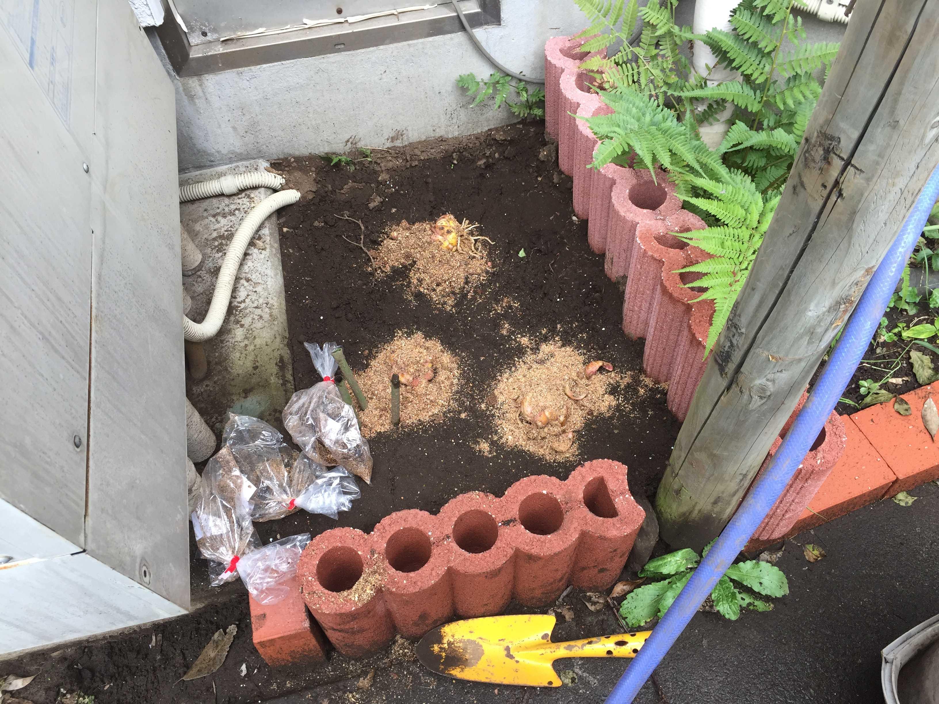ヤマユリの球根植え付け - 球根植栽