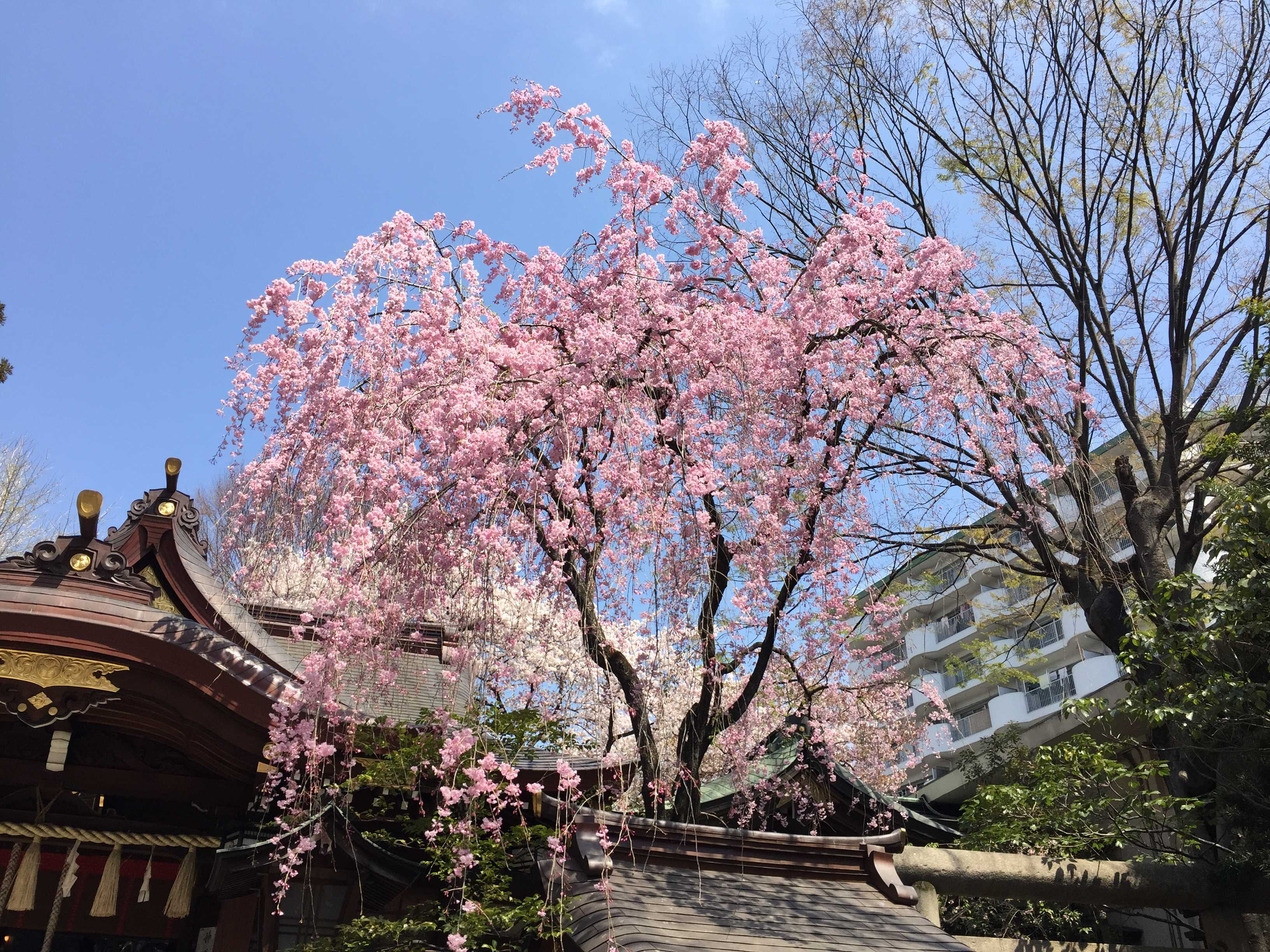子安神社(八王子)の枝垂れ桜