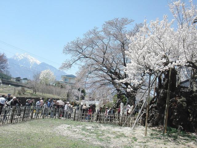 甲斐駒ヶ岳と山高神代桜