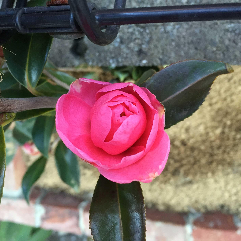 春サザンカ「笑顔」の開花