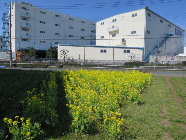 真っ黄色な菜の花とムラウチドットコム本社