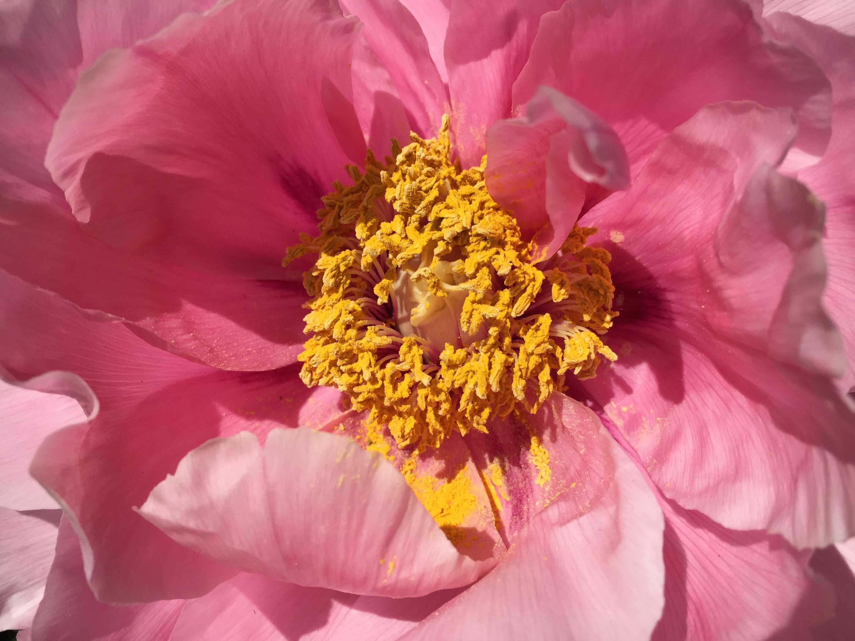 牡丹の花心