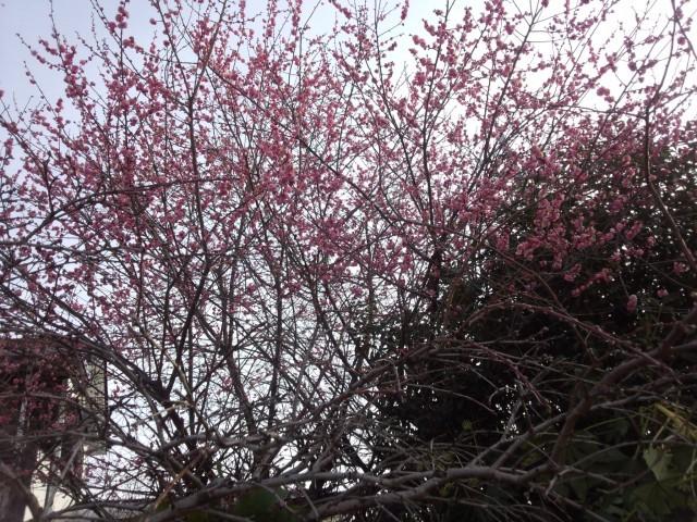 紅梅(梅の花)
