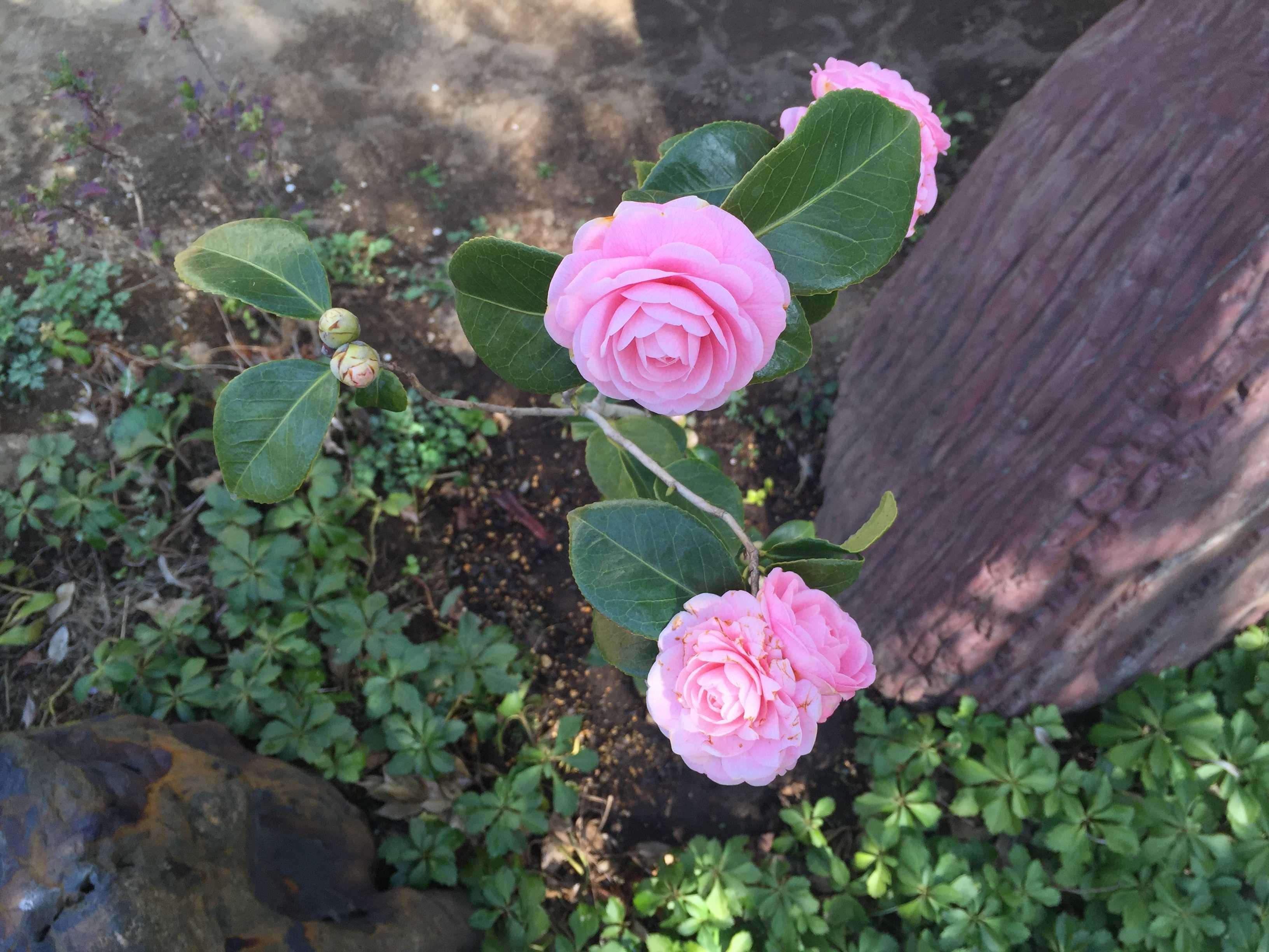 乙女椿(オトメツバキ)の花びら