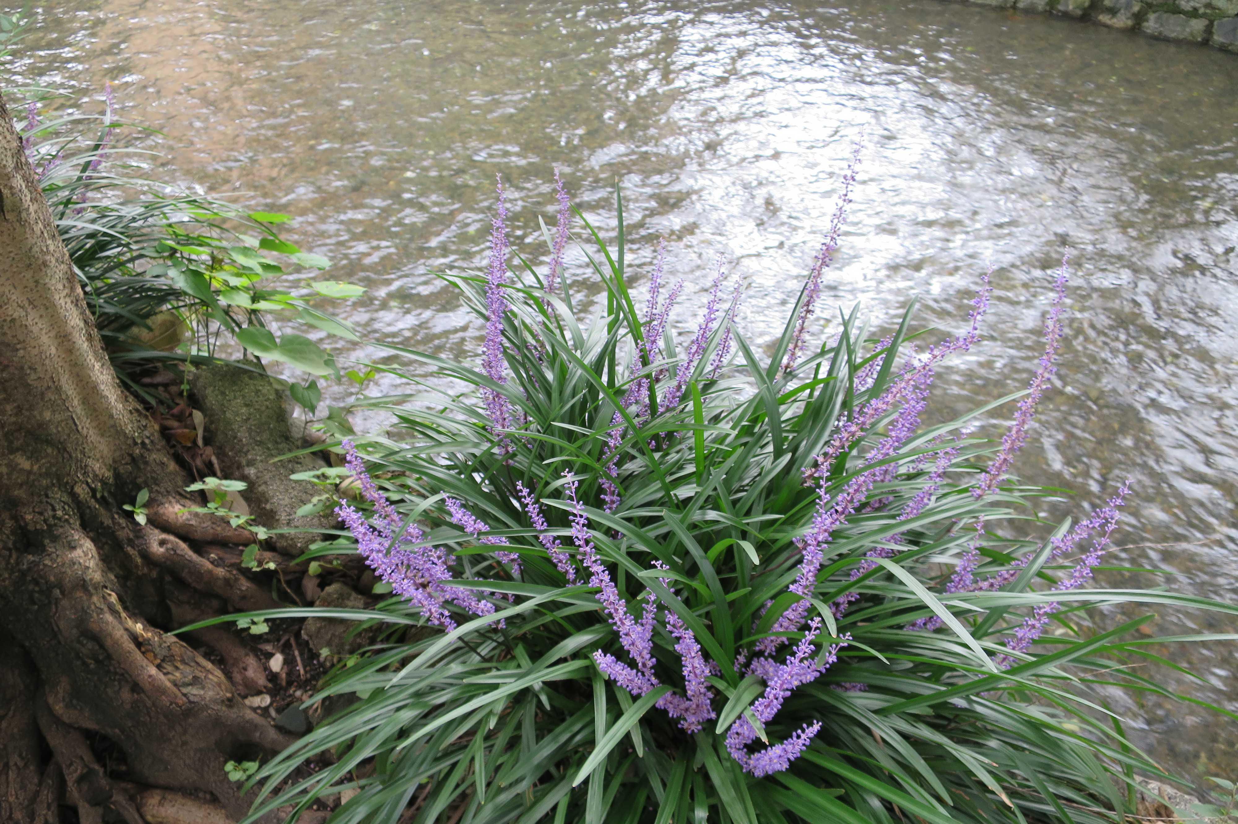 京都・五条楽園 - ヤブラン(薮蘭)と高瀬川