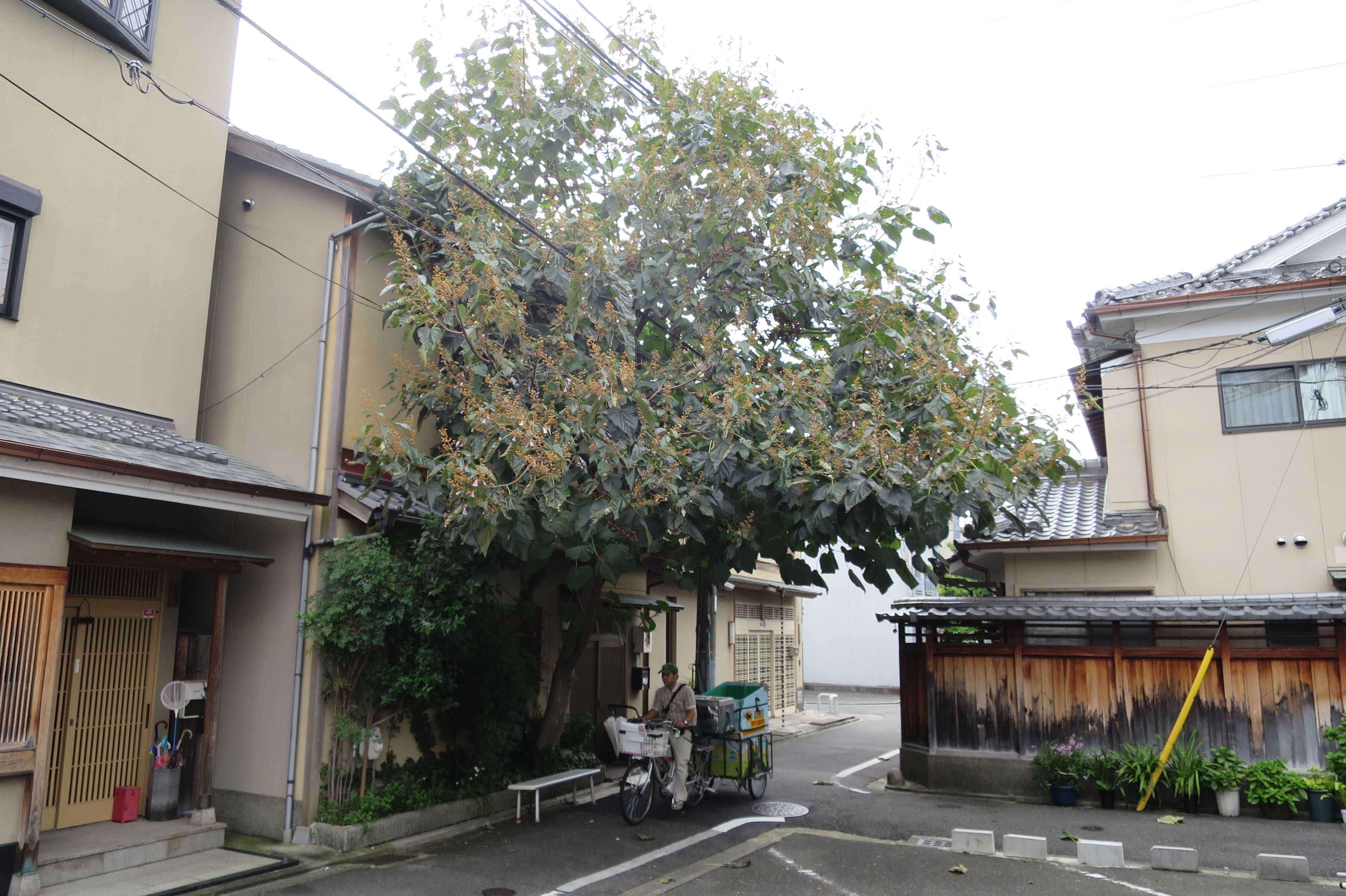 京都・五条楽園の桐(キリ)の木の下を走るクロネコヤマトの自転車便