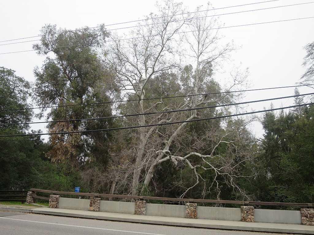 サラトガの木