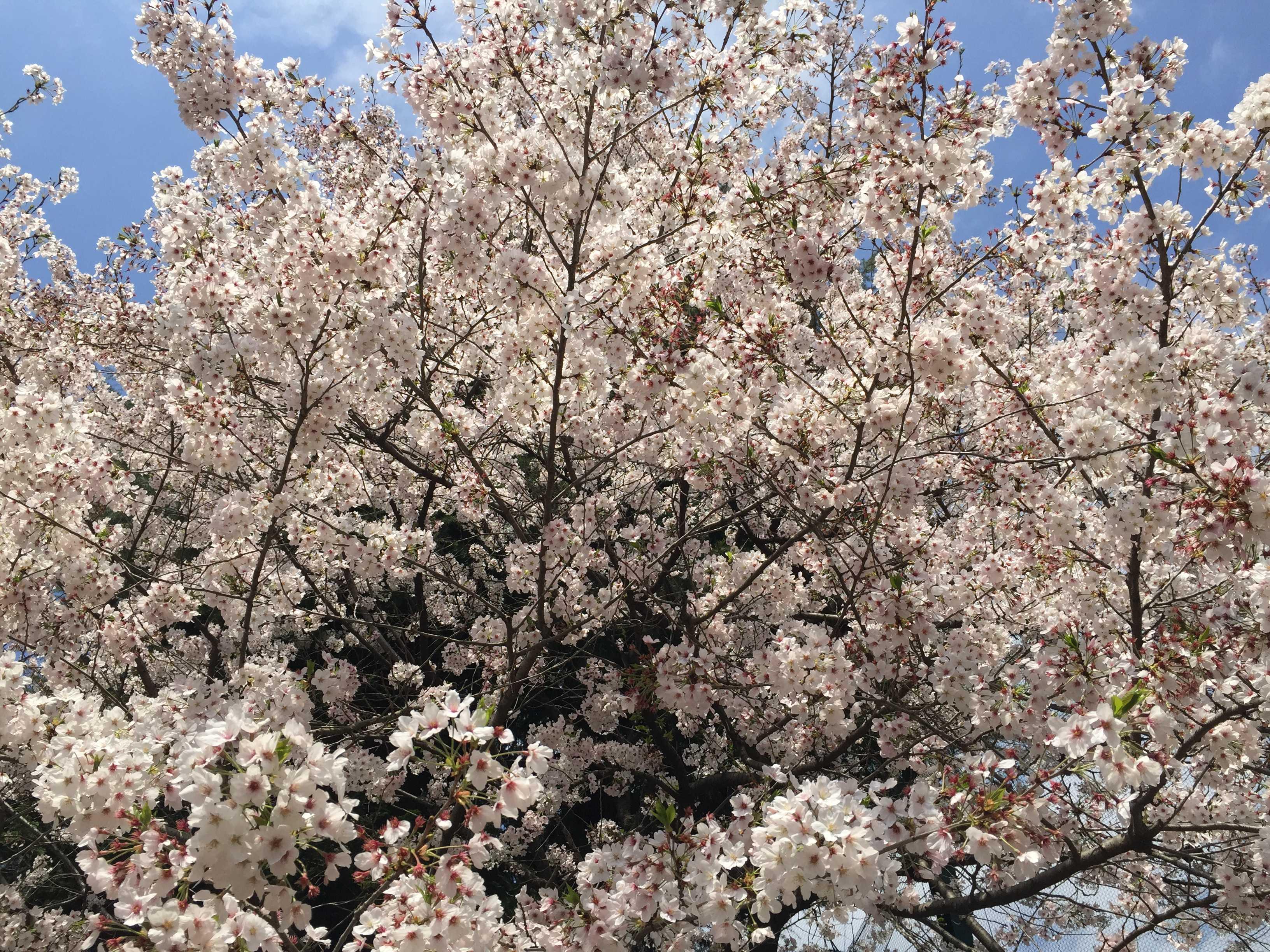 南多摩高校の桜