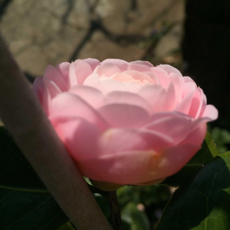椿 - オトメツバキ
