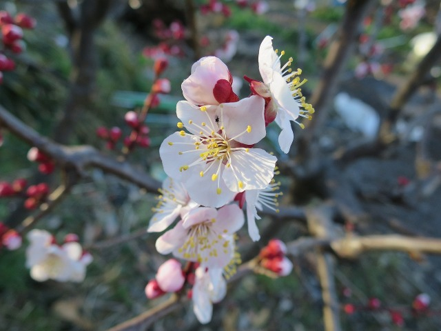 淡いピンク色の紅梅