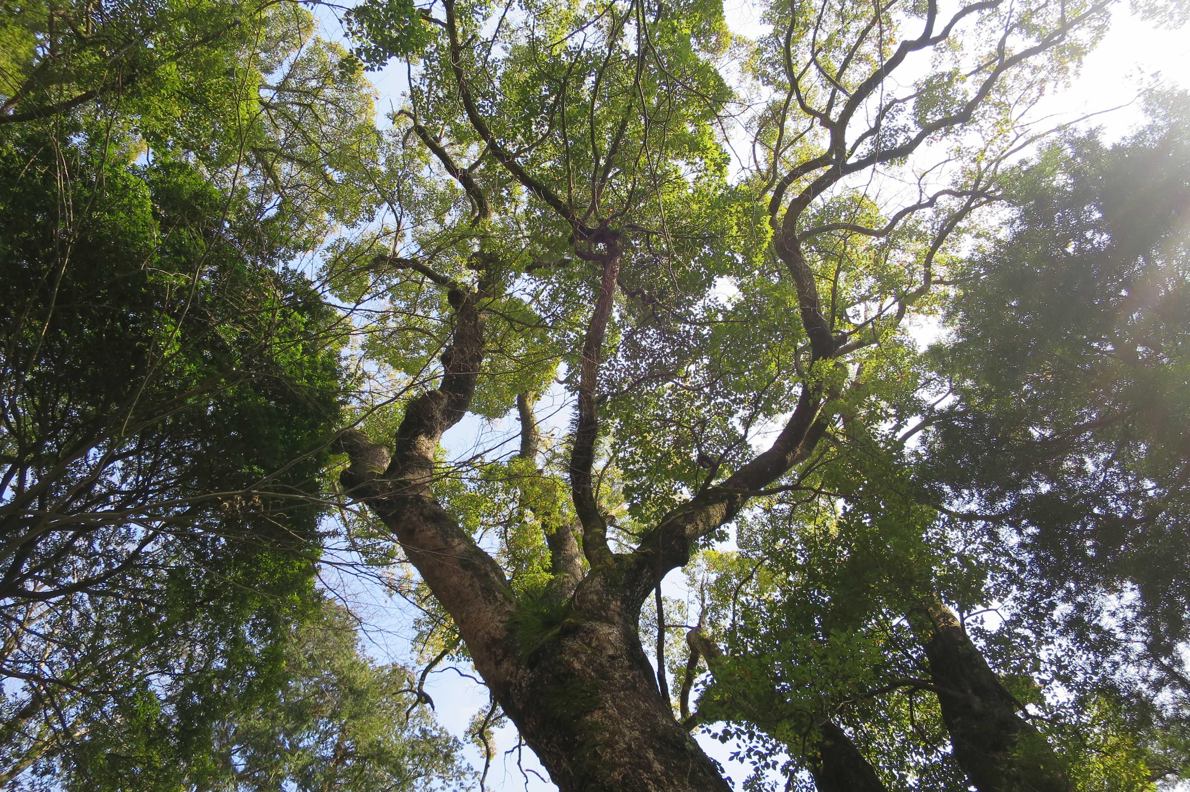 来宮神社の大楠 - 樹勢盛ん