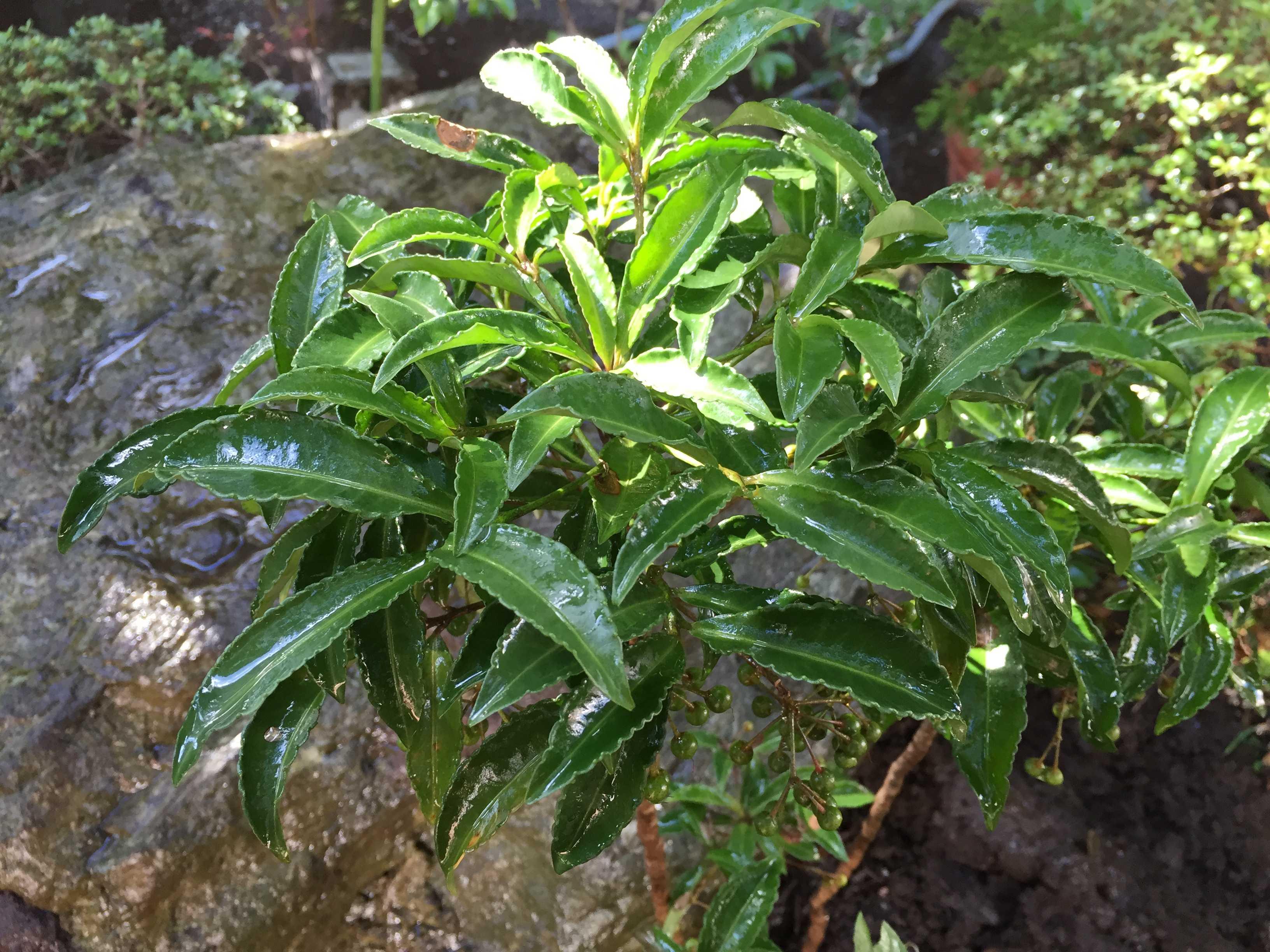 万両(マンリョウ)の深い緑色の葉